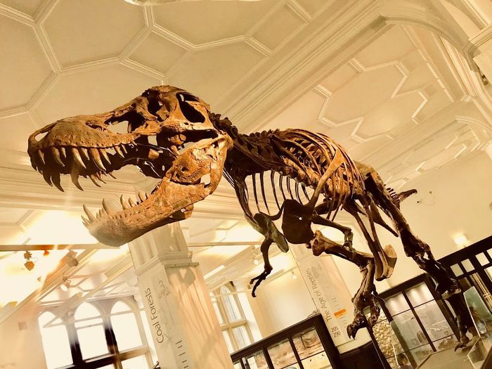 T.Rex dinosaur skeleton at Museum in Manchester Oxford Road. T Rex Dinosaur Tyrannosaurus Rex Representation Indoors  No People History The Past Art And Craft Bone  Dinosaur Extinct