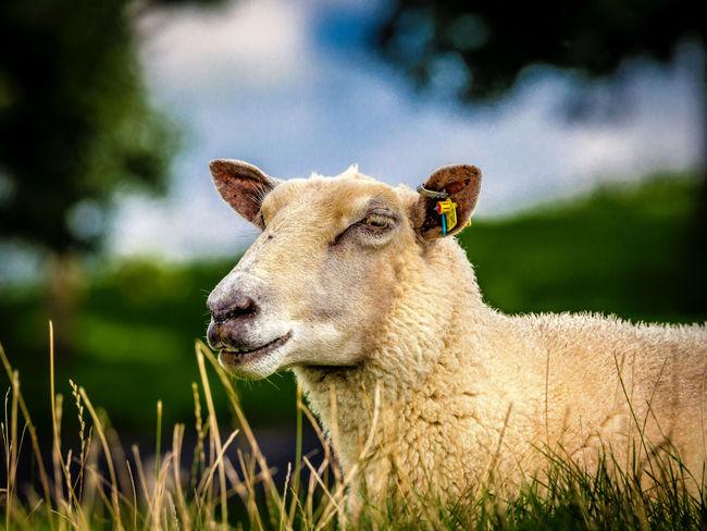 Animal Animal Themes Livestock Mammal One Animal Relaxing Sheep Sheep On Dike