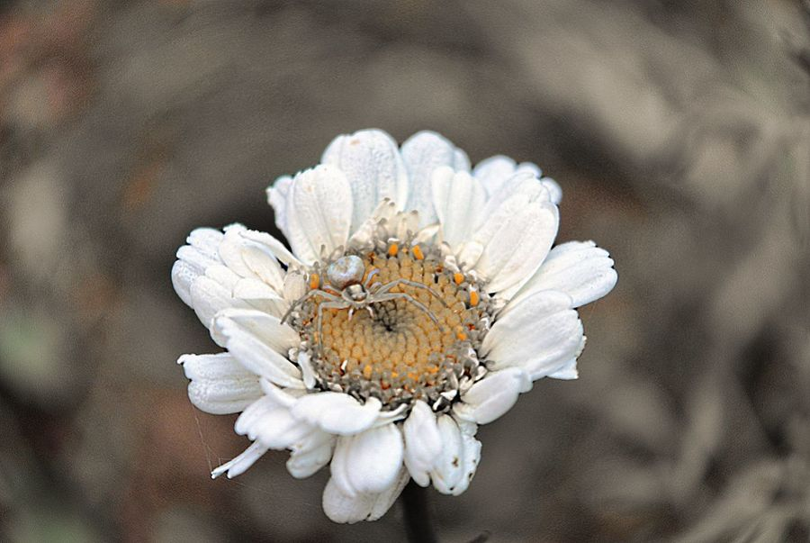 Spider Flower Nature Close-up Flower Head Beauty In Nature Insect Macro Monoart Minimal Spider Macro Insect  Macro Spider Spider In Focus Minimalist Photography  Chamomile 🌿 Macro Photography Chamomile