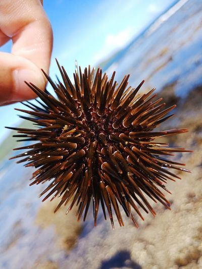 Close-up of hand holding sea urchin