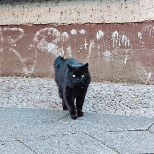 Portrait of cat on footpath against wall