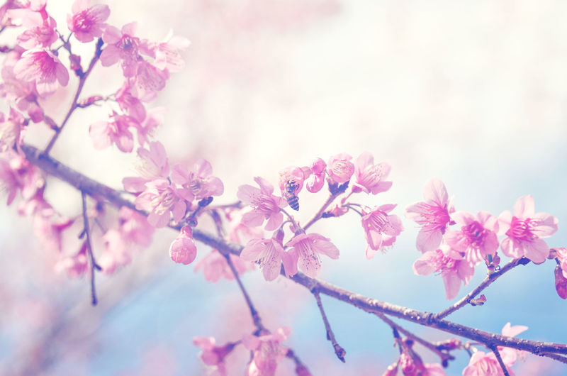 spring sukura pink flower with sun sky vintage color toned abstract nature background, instagram filter Flower Flowering Plant Plant Beauty In Nature Pink Color Freshness Branch Tree Nature Petal Blossom Close-up No People Springtime Selective Focus Day Outdoors Flower Head Cherry Blossom Cherry Tree Spring Vintage