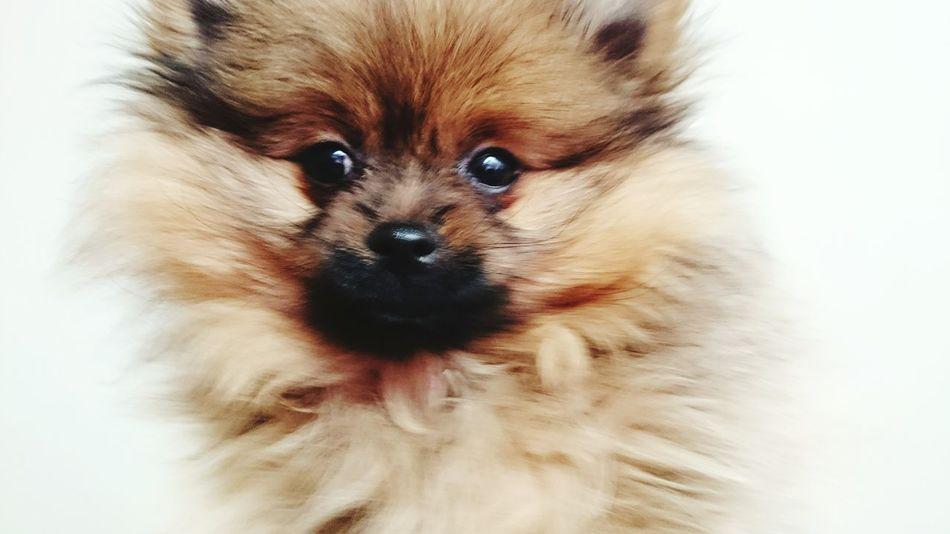 Chilli EyeEm Selects Pets Portrait Dog Looking At Camera Puppy Animal Hair Cute Pomeranian Close-up