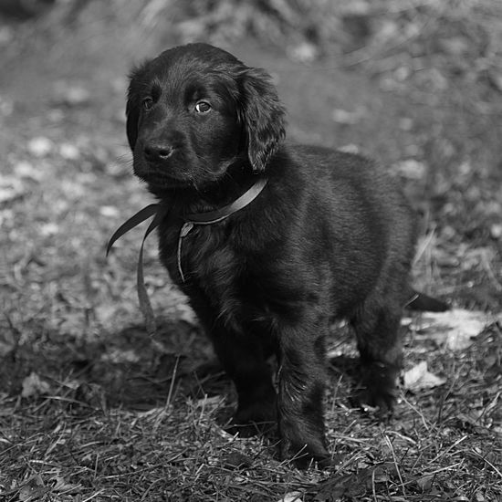 Wingmaster's Vesuvius ... but you can call me Oliver - 8 week old Flat Coates Retriever just seeing his new home yard for the first time. Animal Portrait Small Dog Black Dog Puppy Pet B&w Flat Coated Retriever One Animal Domestic Animals Retriever Puppy Outdoors