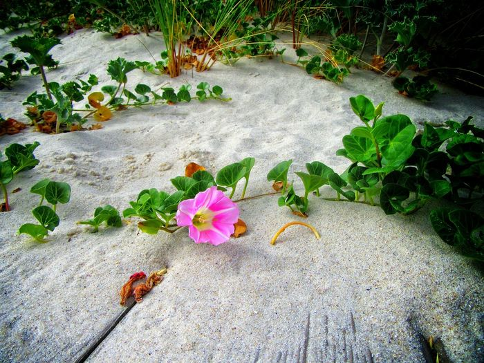Atlantic Vegetation Beach Life Beauty In Nature Blooming Botany Close-up Day Elevated View Flower Fragility Freshness Green Color Growing In Bloom Leaf Lumicar Nature Outdoors Petal Pink Color Plant Sand Dune Sea Flower Tranquility