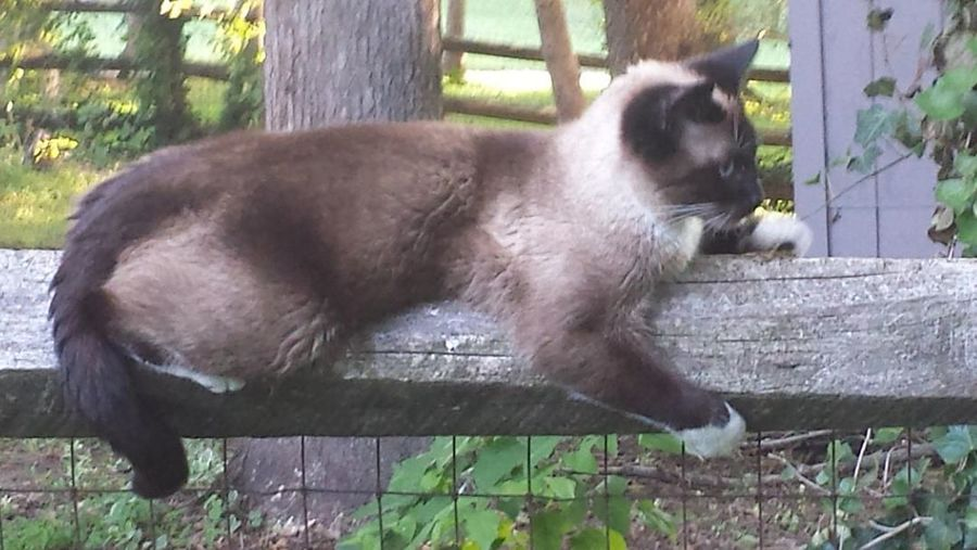 Animal Themes Animals In The Wild Balance Cat On Fence Close-up Day Domestic Animals Domestic Cat Feline Fence Grass Mammal Nature No People One Animal Outdoors Pets Siamese Cat Snowshoe Cat Split Rail Fence
