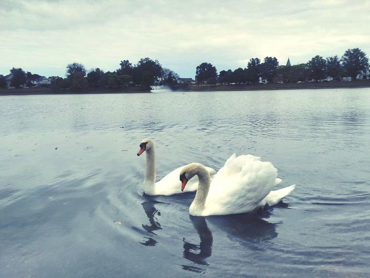 EyeEm Nature Lover Swans Water_collection Lovely day.