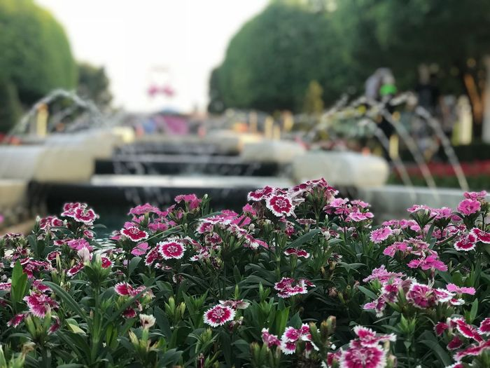 Flower Plant Flowering Plant Growth Freshness Focus On Foreground Beauty In Nature Nature No People Outdoors Day Vulnerability  Inflorescence Park Park - Man Made Space Fragility Pink Color Water Flower Head Close-up