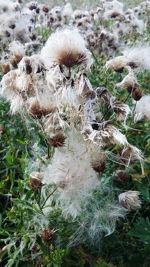 Sow Thistle Autumn Beauty In Nature Landscape Nature Village