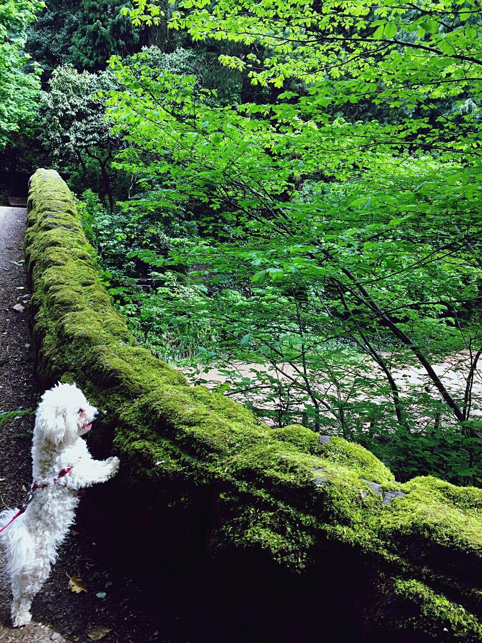 Bichon Frise Dog On Stone Bridge Covered With Moss
