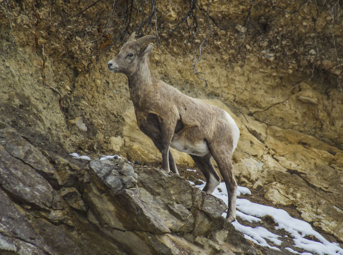 Mountain sheep Animal Themes Animals In The Wild No People Mammal Nature Outdoors One Animal Alberta Alberta, Canada Canada Canmore Beauty In Nature Living Organism Animals In The Wild Mountain Sheep
