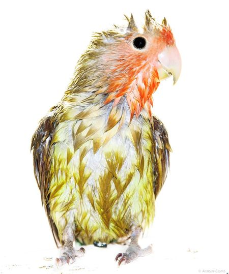 Pet Portraits Cuqui Agaporni Papillero Animal Bird Domestic Animals Young Bird Animal Themes Pets Showertime. Wet Wetbird Parrot Lover Roseicollis