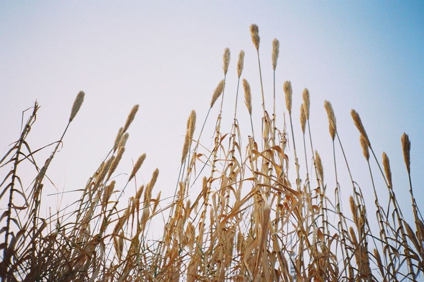Growth Field Nature Plant No People Day Cereal Plant Outdoors Clear Sky Beauty In Nature Sky