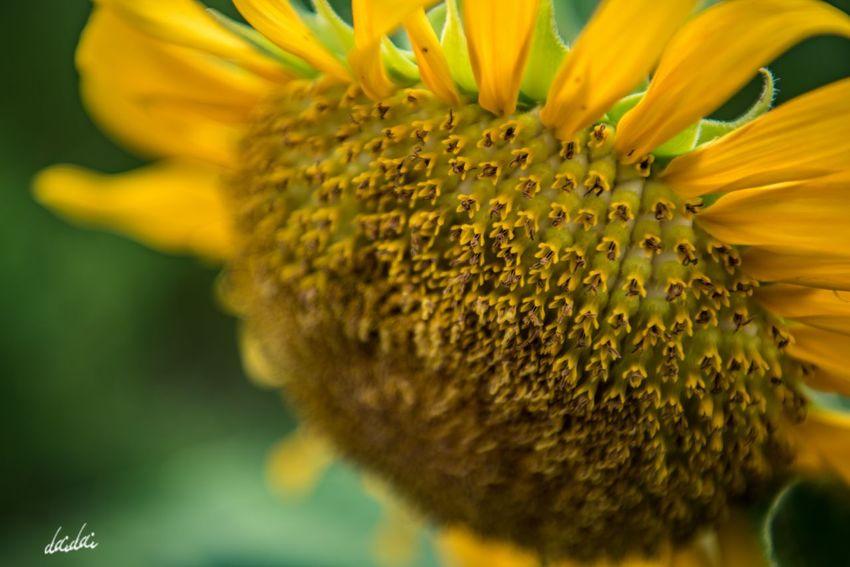 もっとこっちにおいで D750 Fukuokadeeps 正助ふるさと村 花 Flower Petal Lightroom Edit Plant Bokeh No People Flower Head Flowerporn 向日葵 Sunflower Green Focus On Foreground ひまわり Yellow Summer Beauty In Nature Close-up My Zoom Up