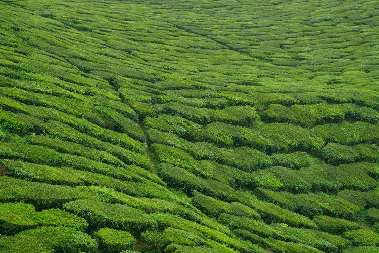 Green carpet of tea Green Color Growth Backgrounds Beauty In Nature Nature Tea Carpet Tea Farm Cameron Higland Pahang Malaysia Travel