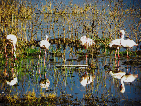 Flamingo Kenya Animal Animal Themes Animal Wildlife Animals In The Wild Beauty In Nature Bird Day Flock Of Birds Group Of Animals Lake Nature No People Plant Reflection Tranquility Vertebrate Water