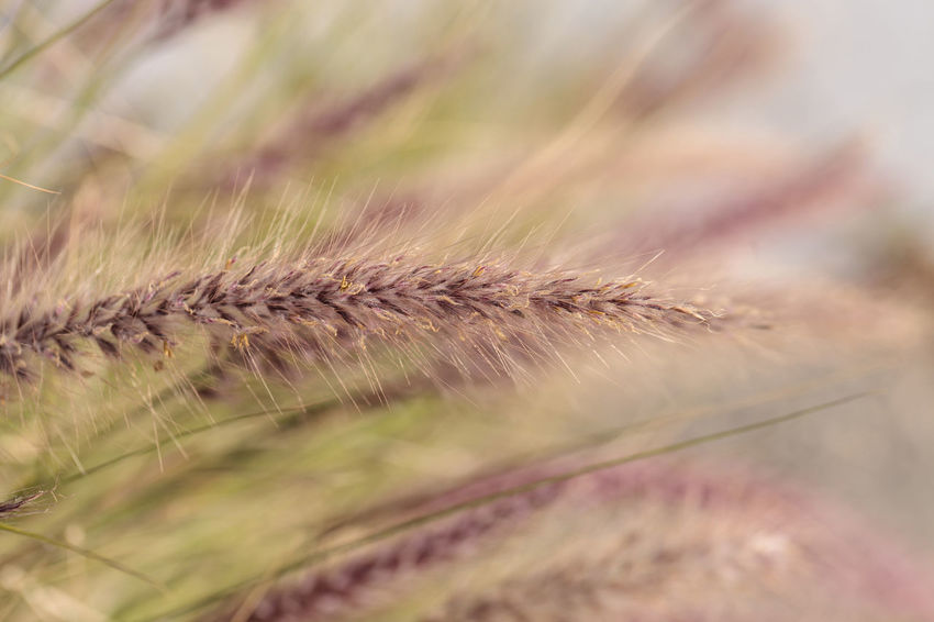 Yellow fountain grass called Pennisetum alopecuroides grows on a golden background Background Close-up Day Fountain Grass Golden Grass Growth Nature No People Outdoors Pennisetum Alopecuroides Plant Plant Texture Wheat Yellow
