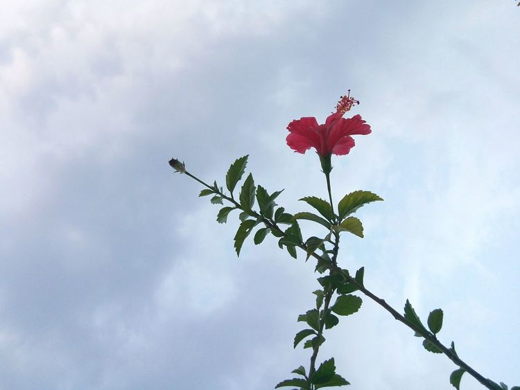 Sky Flower Red Cloud - Sky Nature No People Low Angle View Day Tree Leaf Outdoors Beauty In Nature Flying Fragility Freshness Hibiscus Flower Springtime