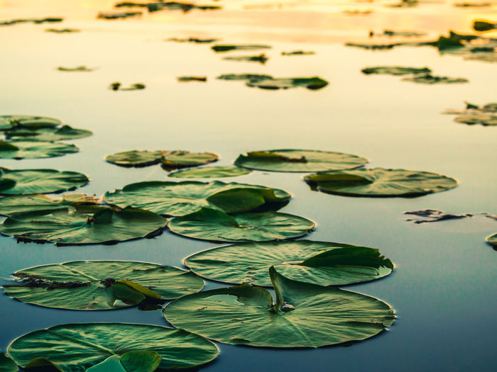 Close-up of lily pads on water