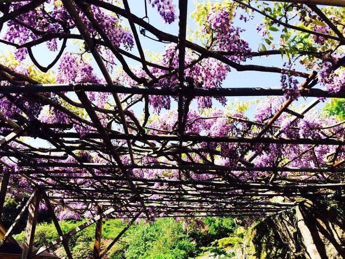 藤 Flower Japan 5月の花