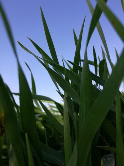 Leaf Plant Close-up Growth No People Nature Outdoors Sky Day Beauty In Nature Lovers EyeEm Nature Lover Nature Growth Plant Agriculture Crop  Farm Green Color Environmental Conservation Rural Scene Cereal Plant Grass EyeEmNewHere