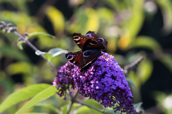 Animal Wildlife Animal Themes Animals In The Wild Insect Butterfly - Insect Flower Purple Nature Close-up Freshness Day Leaf Outdoors Canonphotography Ladyphotographerofthemonth Eye4photography  Schmetterling Nature On Your Doorsteep The Week On EyeEm Nature_ Collection