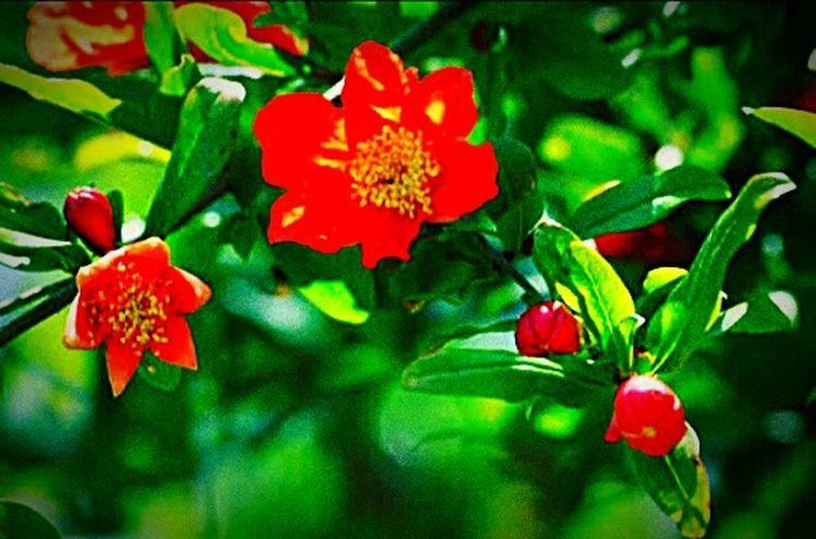 Pomegranateflower Fruit 🌳🌷
