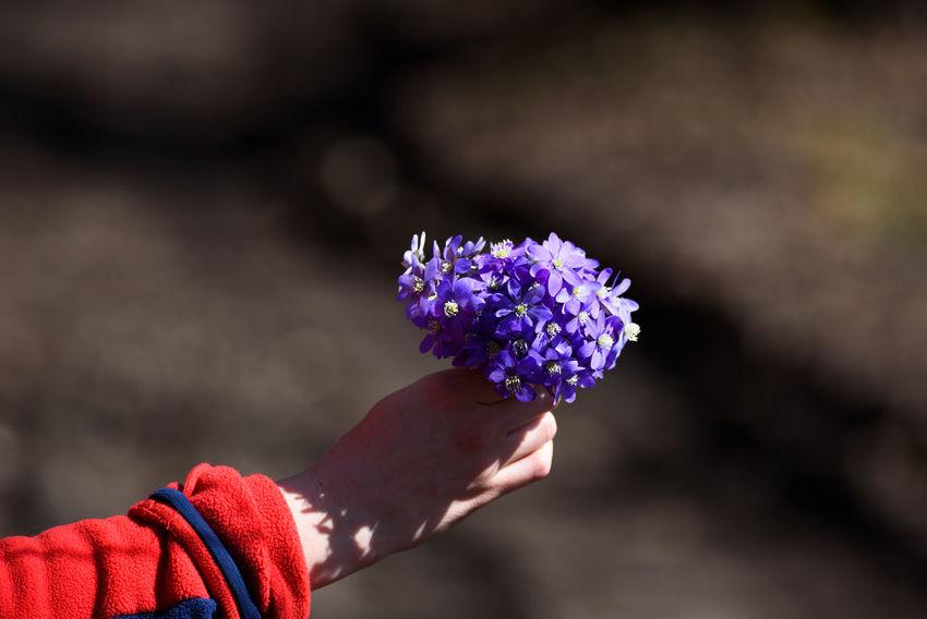 Common hepatica or kidneywort (Anemone hepatica ) flowers. Beauty In Nature Blossom Blue Flower Flower Head Flower In Hand Flowering Plant Flowers Freshness Hand Human Hand Plant Purple Spreizer Spring Springtime