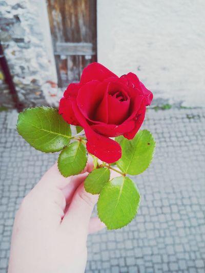 Flowers Photo♡ Naturall Rosa Rossa