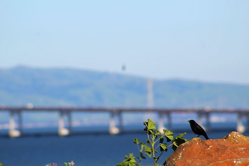 Black Bird San Mateo Bridge San Mateo Bridge Bay Area Birds Birds_collection Birds Of EyeEm