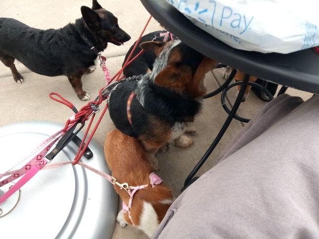 Pembroke Welsh Corgi Puppy Cute Padio EyeEm Selects Pets Dog Pet Leash Close-up