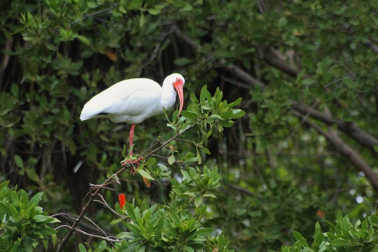 White ibis perching on plant