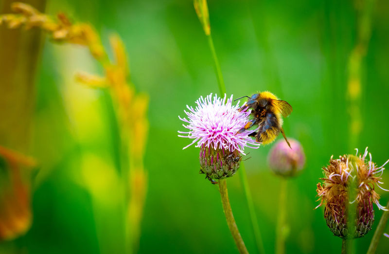 Bumblebee Hummel Animal Animal Themes Animal Wildlife Animals In The Wild Beauty In Nature Bumblebee On Flower Close-up Diestelblüte Flower Flower Head Insect No People One Animal Outdoors Plant