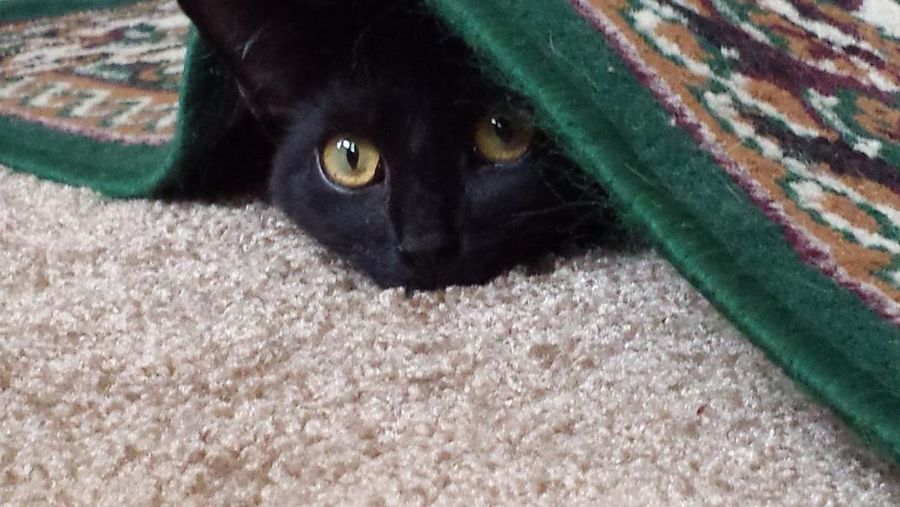 Black Cat Animal Themes Black Color Cat Hiding Cat Peeking Cat Under Rug Close-up Day Domestic Animals Domestic Cat Feline Looking At Camera Mammal Nature No People One Animal Outdoors Pets Portrait Yellow Eyes