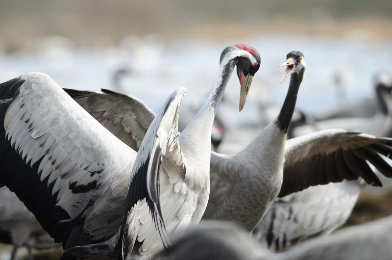 Cranes dancing at lake hornborga