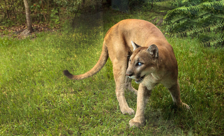 Naples, Florida, USA – October 20, 2017:Florida panther Puma concolor coryi blinded by a shotgun in 2014 and now resides at the Naples Zoo. Naples Zoo Puma Concolor Coryi Animal Themes Animals In The Wild Big Cat Cougar Day Feline Felines Florida Panthers Grass Mammal Nature No People One Animal Outdoors Panther Puma Puma Concolor Wild Life Wildlife