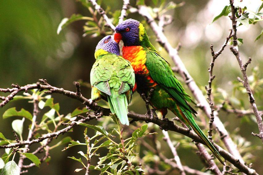 Love Is In The Air Valentine Peck Australia Rainbowlorikeet Bird Photography Love