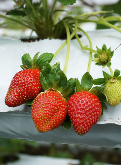 Lovely strawberries Cameron Highlands Pahang, Malaysia Affordable Berry Fruit Close-up Day Focus On Foreground Food Food And Drink Freshness Fruit Green Color Growth Healthy Eating Leaf Nature No People Outdoors Picking Experience Ready-to-eat Red Ripe Strawberry Sweet Food Water