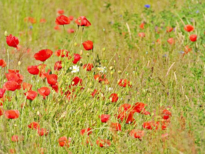 Red poppy flowers growing on field