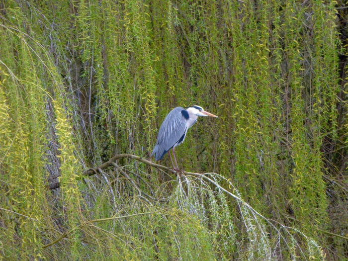 Wilowtree EyeEm Best Shots EyeEm Nature Lover EyeEmBestPics EyeEm Best Shots - Nature Beauty In Nature Wonders Of Nature Bird Perching Gray Heron Heron Tree Great Blue Heron Animal Themes Grass Green Color Plant Beak Branch