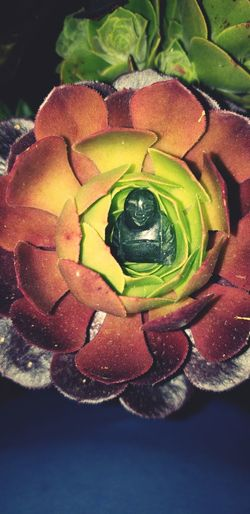 Buddha in Lotus Succulent Aeonium San Jose Cosmic Flower Flower Flower Head Multi Colored Close-up Petal In Bloom Plant Life Cosmos Flower
