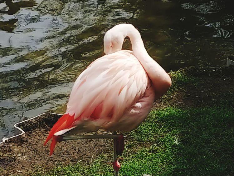 EyeEm Selects Flamingo Bird Water Lake Pink Color Beak Close-up Grass