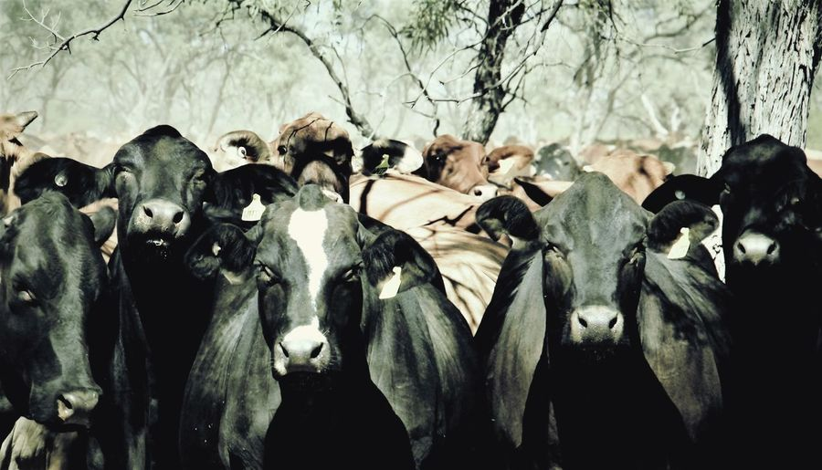 Close-up of cattle herd