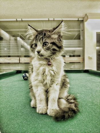 Curiousity killed the Cat . Pooltable Kitten