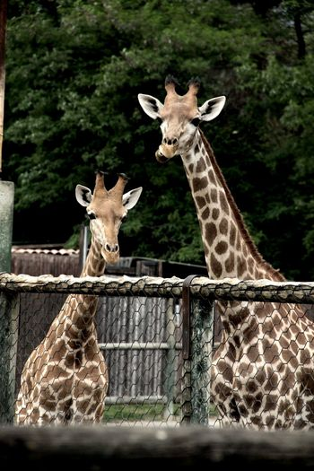 Africa Animals Cornelle Giraffes Grimaces Mum And Son Mummy Nice Outdoors Smile Trip Zoo