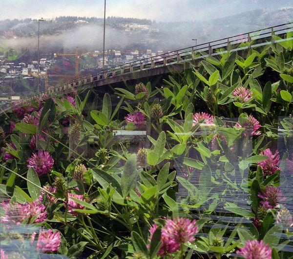 Film Swap: Lithuanian clovefs meet Norwegian bridges. Film 35mm Film Film Swap SWAP Lithuania Norway Nature Bridge Clovers  Analogue Photography Multiexposure  Surreal