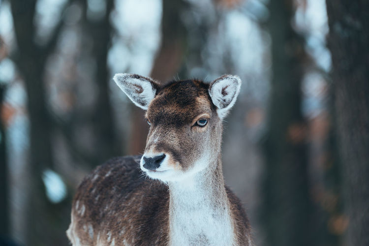 Fallow deer in the winter forest Fallow Deer Deer Female Deer Dama Dama Wildlife Mammal Nature Animals In The Wild Forest Wildlife & Nature Winter Snow Wilderness Antler Fauna Habitat Wild Animals