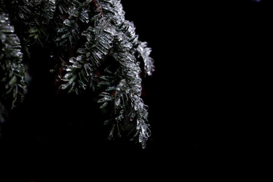 As the wind was blowing, the freezing rains came in, melting the snow standing on plante, leafs, and branches, and freezing immediately, giving surreal impressions Beauty In Nature Black Background Close-up Cold Temperature Fragility Growth Nature Night No People Outdoors Tree Winter