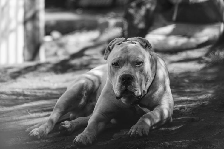 Argentine bulldog rested after a busy day Animal Themes Close-up Day Dog Dogo Dogo Argentino Dogslife Domestic Animals Mammal No People One Animal Outdoors Pets Relaxation