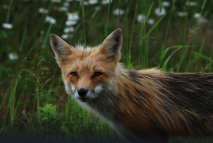 Animal Animal Body Part Animal Head  Animal Themes Animal Wildlife Animals In The Wild Day Field Focus On Foreground Fox Grass Land Looking At Camera Mammal Nature No People One Animal Outdoors Plant Portrait Vertebrate Whisker
